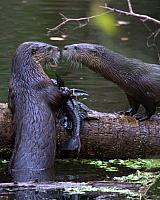 misc-otter-eating-fish