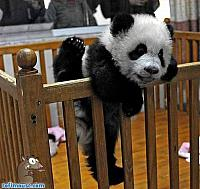 funny-animal-pictures-baby-panda-pee